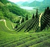 tea-garden-darjeeling