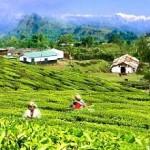assam-teagarden