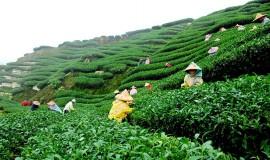 assam-teaplantation