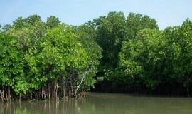 sunderban-mangrove-forest